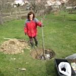 Dajú sa presádzať staršie ovocné stromky?