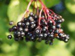 Čierna baza: dokonalý všeliek a vitamínová bomba z rumovísk a záhrad