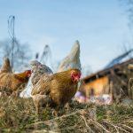 Chovať sliepky môžete aj v modernej záhrade